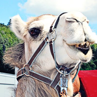 Thumbnail image for My Beloved Camels
